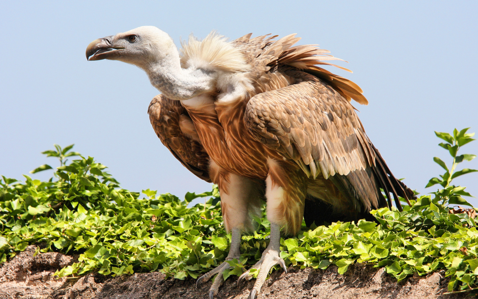 vulture Birds bird HD Wallpaper