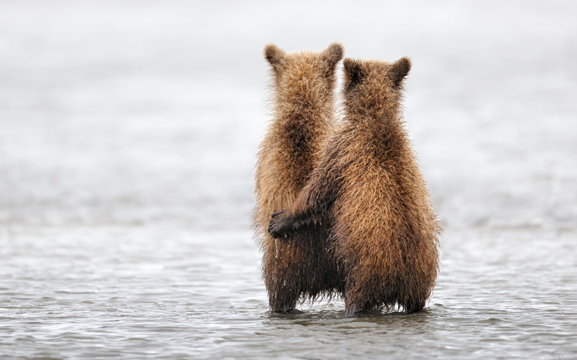 water Animals Bears pair HD Wallpaper