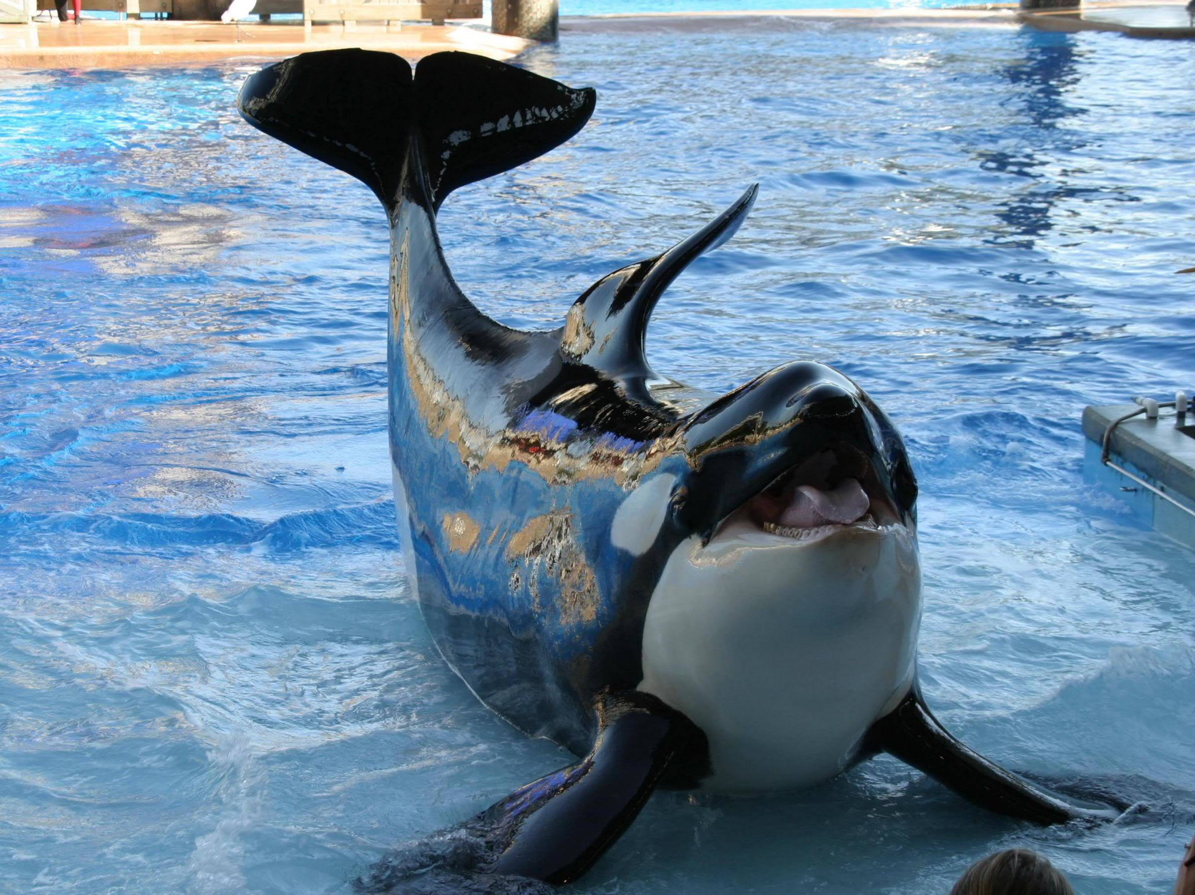 water Animals killer whales HD Wallpaper