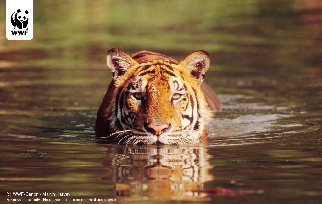 water Animals Tigers ponds HD Wallpaper
