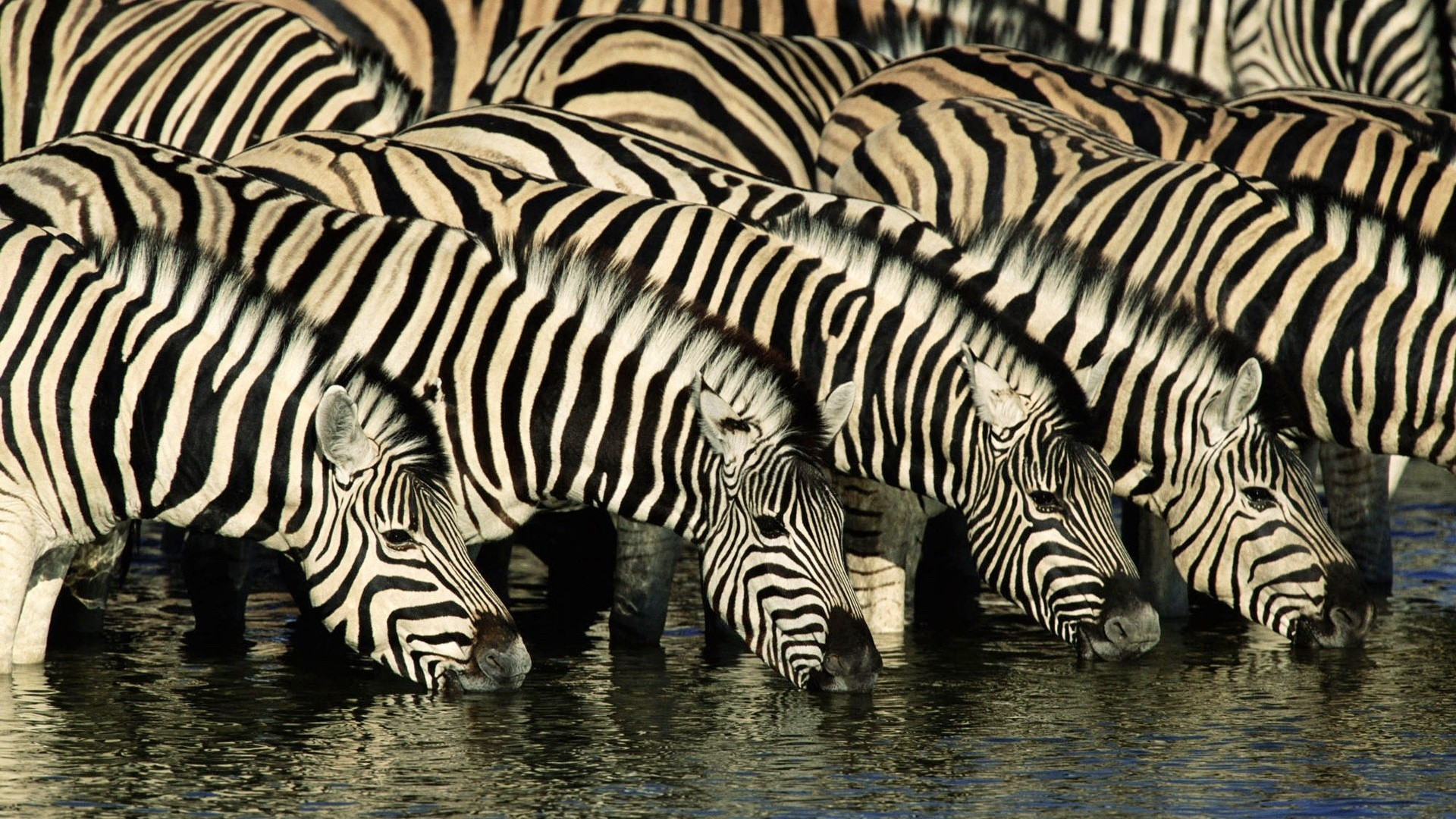 water Animals wildlife zebras HD Wallpaper