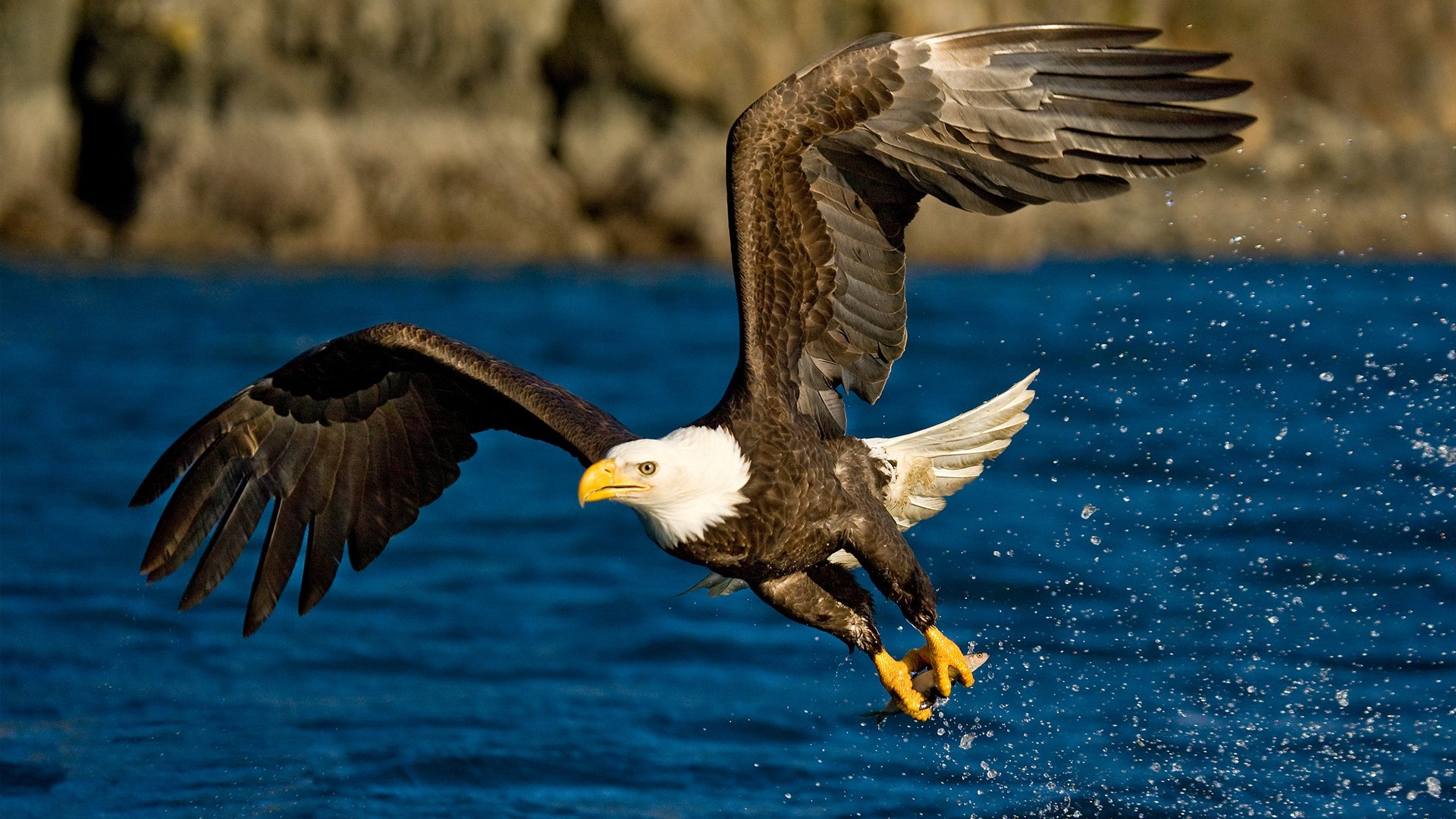 water Birds Eagles bald eagles HD Wallpaper