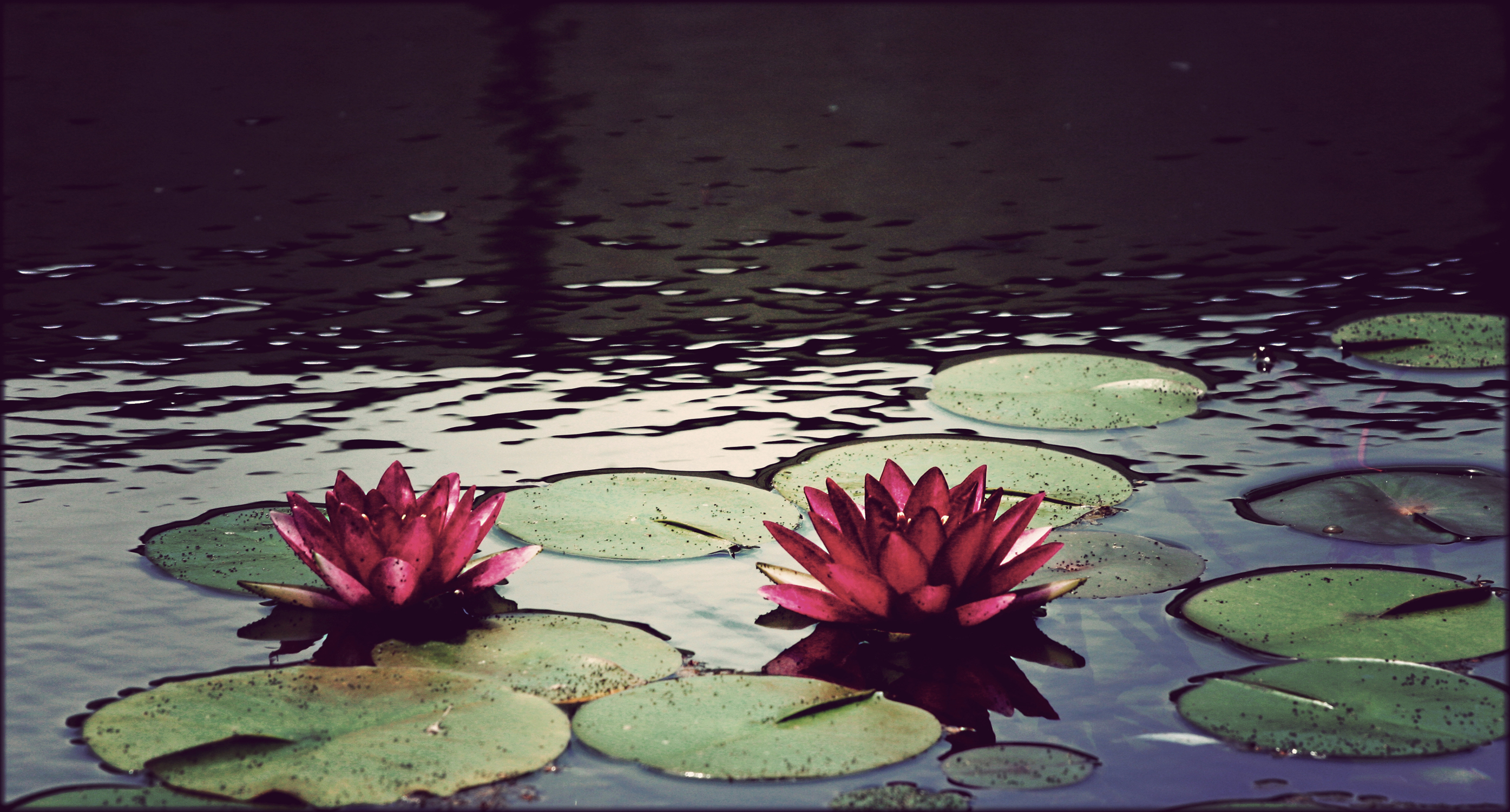 water Flowers ponds Plants HD Wallpaper