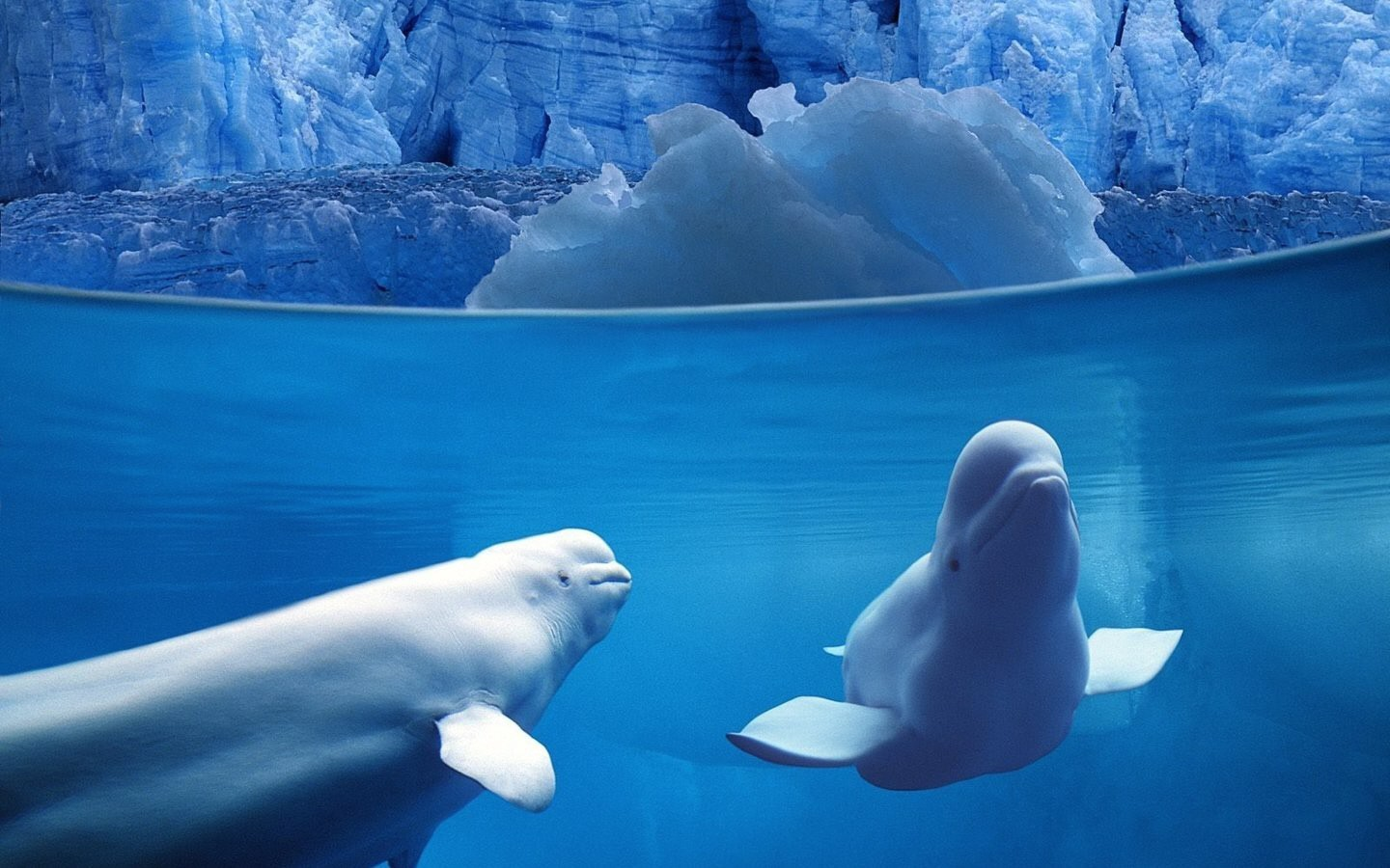 water ice split-view beluga whales HD Wallpaper