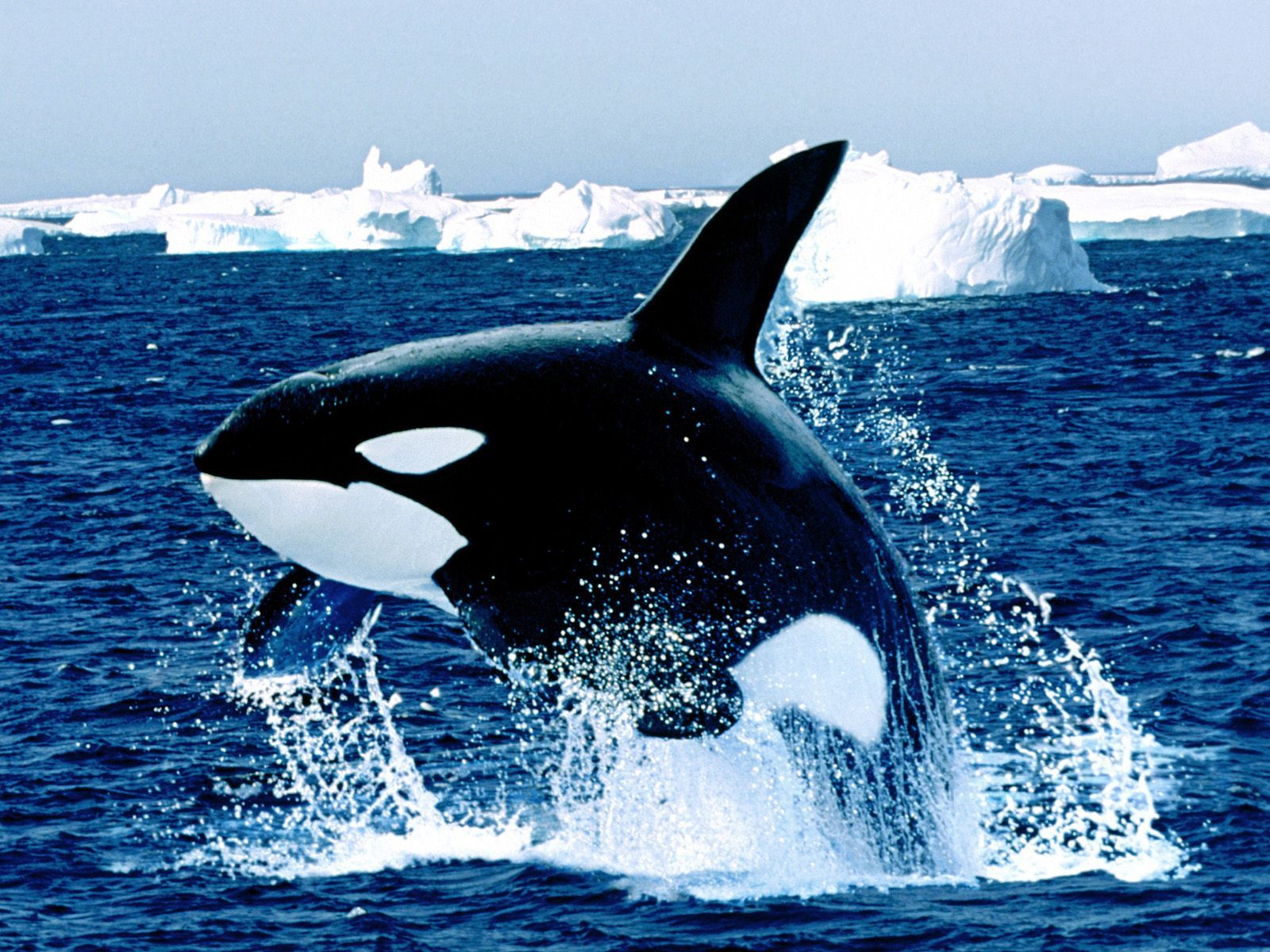 whale Wild nature arctica HD Wallpaper