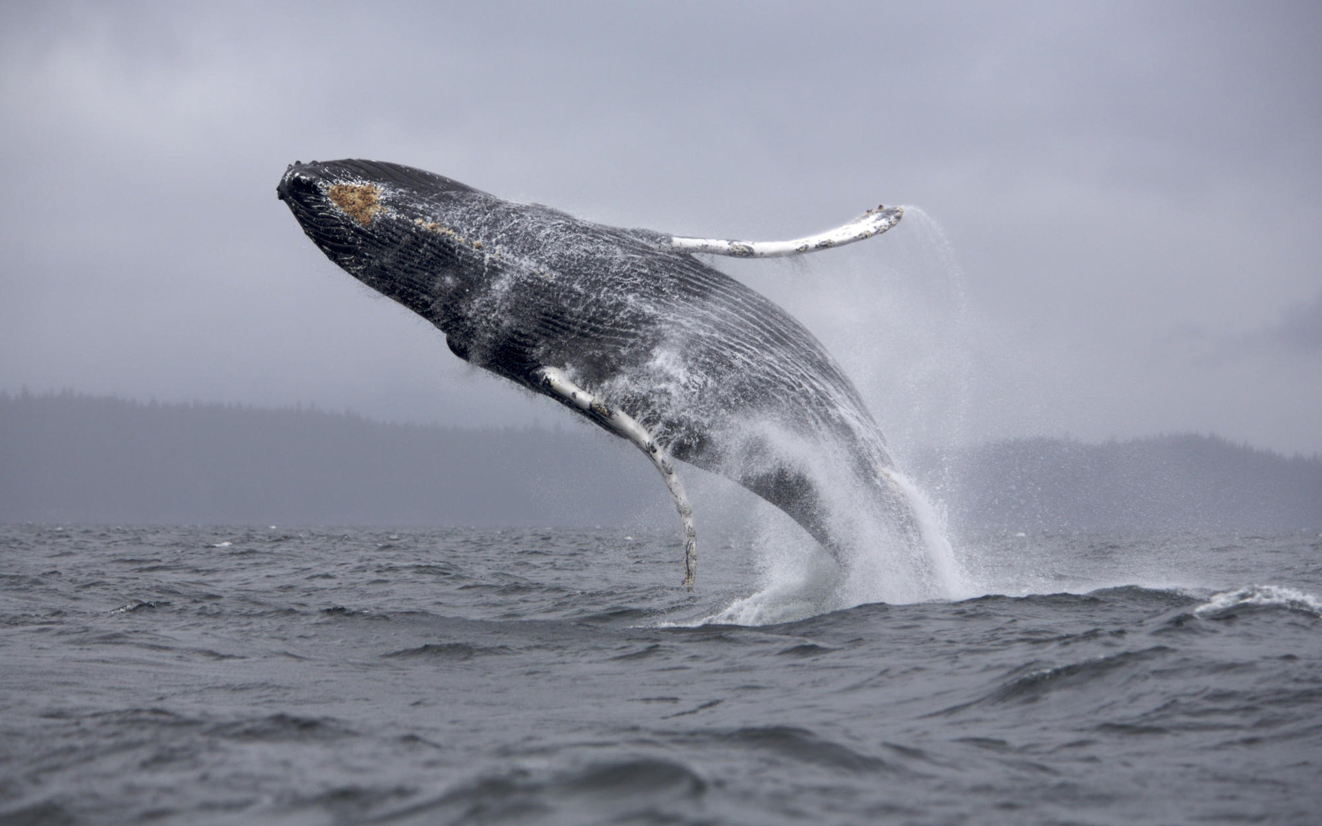 Whales HD Wallpaper