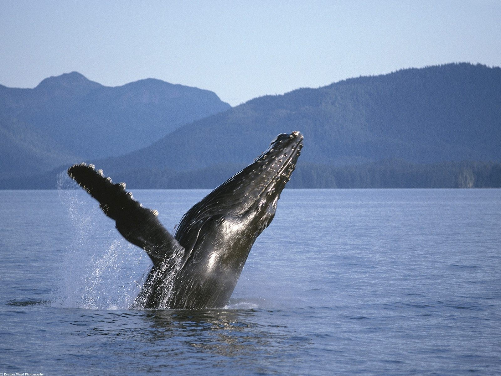 Whales Animals HD Wallpaper