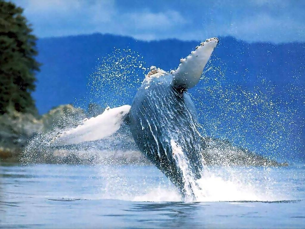 Whales jumping HD Wallpaper