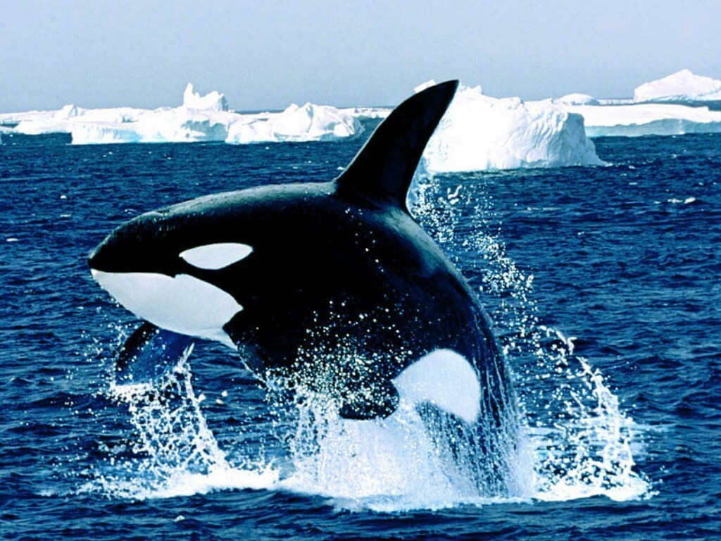Whales killer whales HD Wallpaper