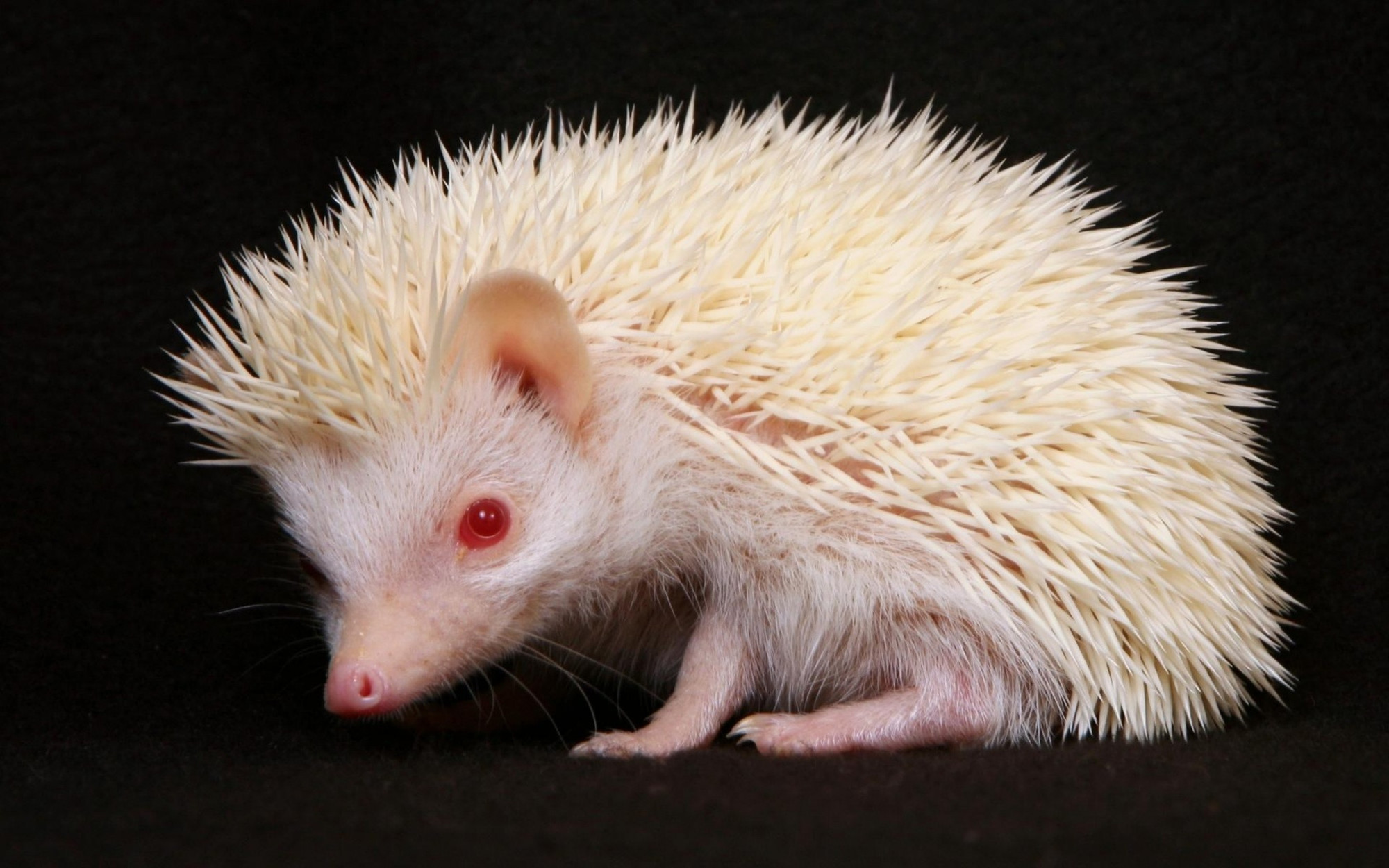 white Animals hedgehogs red HD Wallpaper