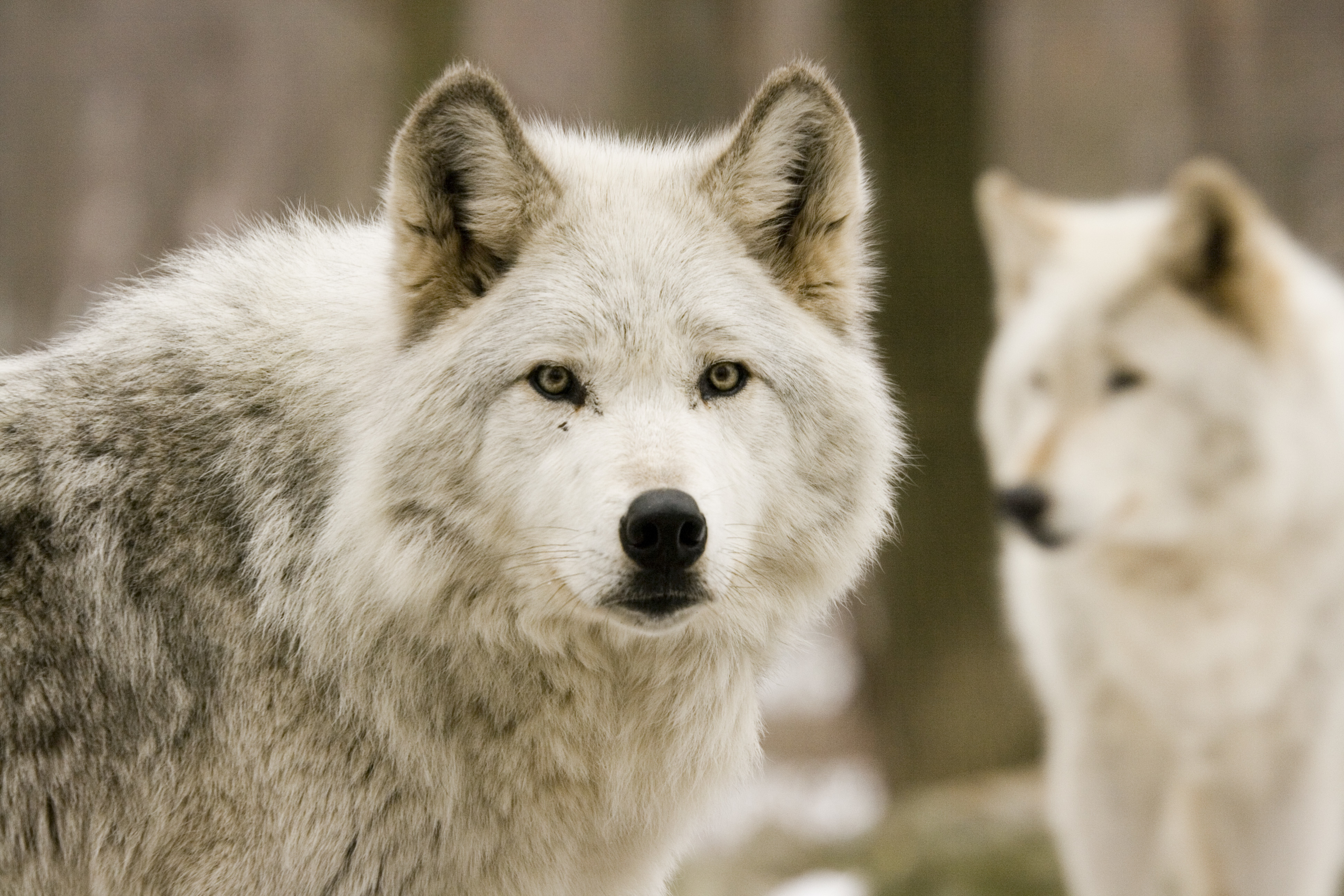 White Wallpaper on White Animals Wolves Hd Wallpaper   Animals   Zoo   448457
