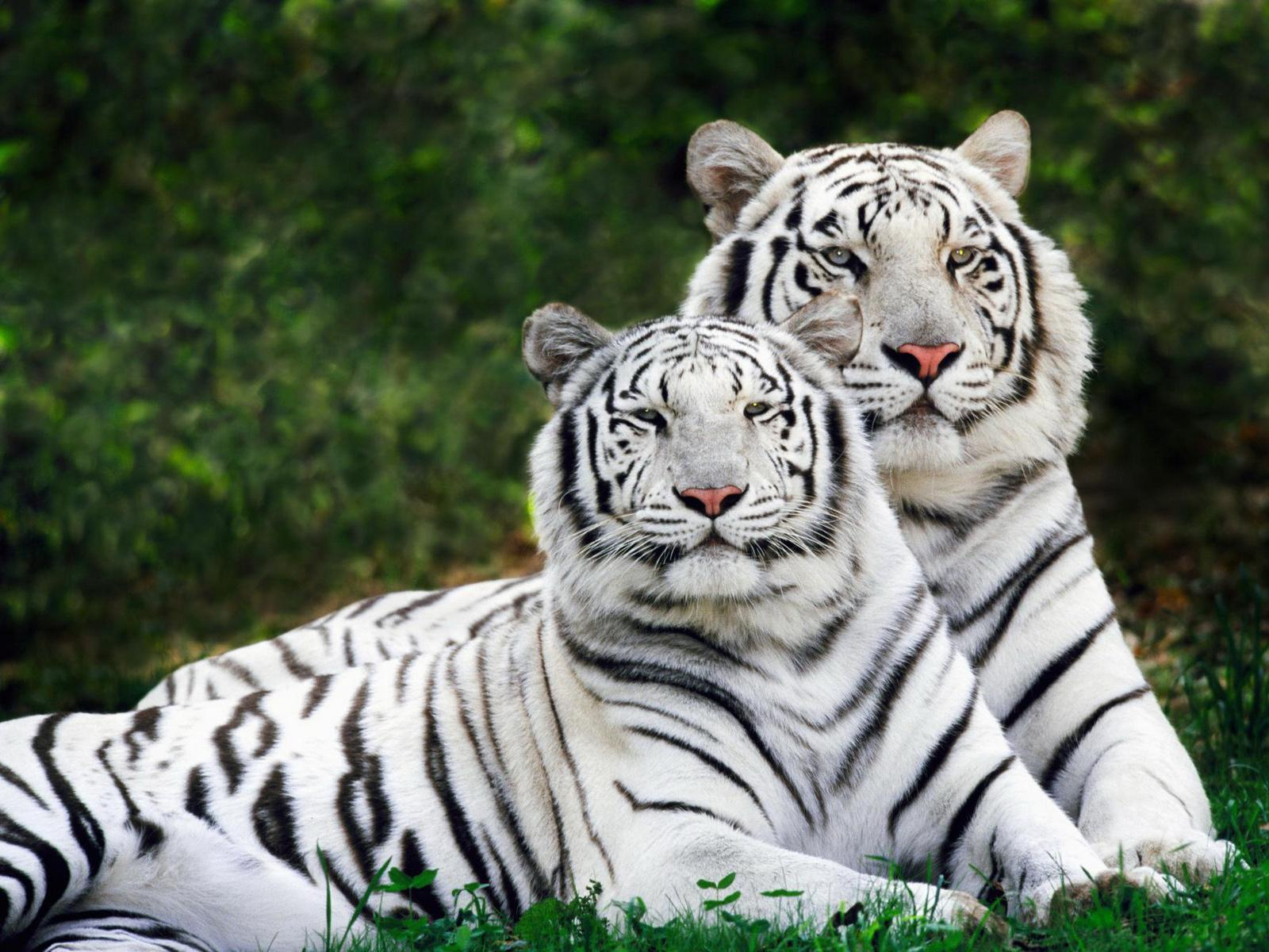 Picture Nature on White Bengal Tigers Wild Nature Animals Hd Wallpaper Of Wild Animal