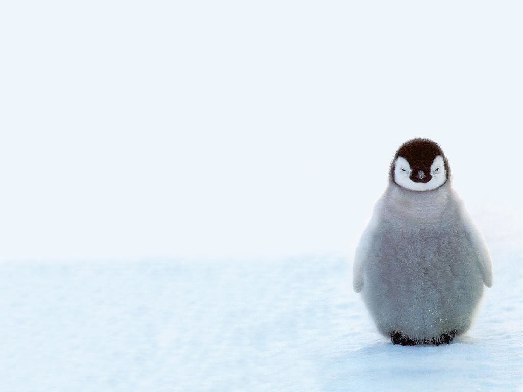 white Birds Penguins baby HD Wallpaper
