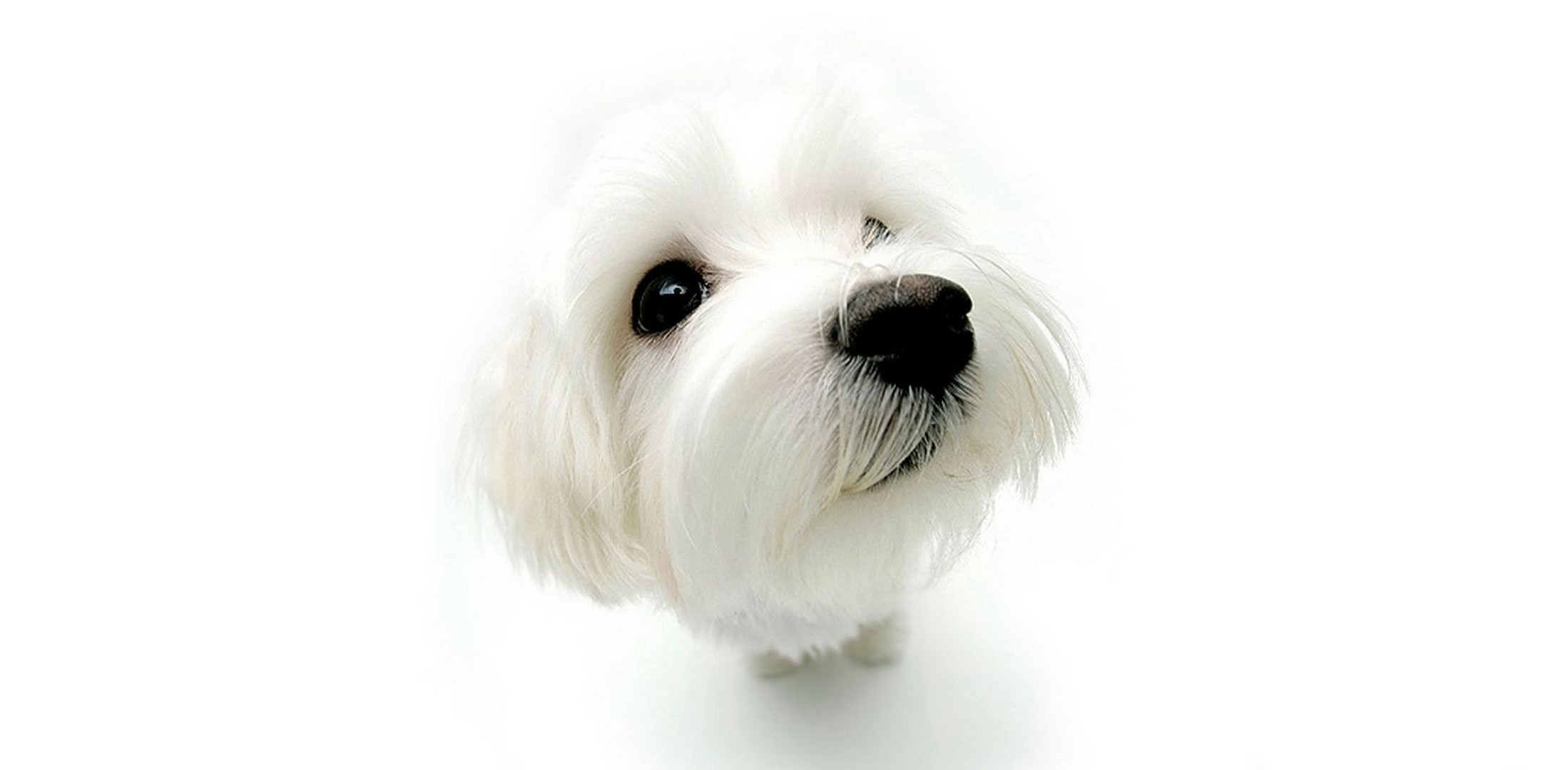 white Puppies white background HD Wallpaper