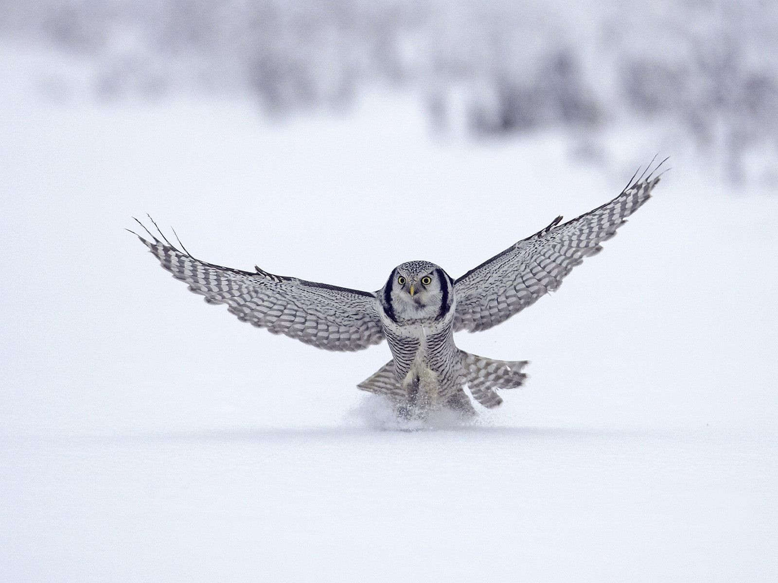 winter snow Birds Owls HD Wallpaper