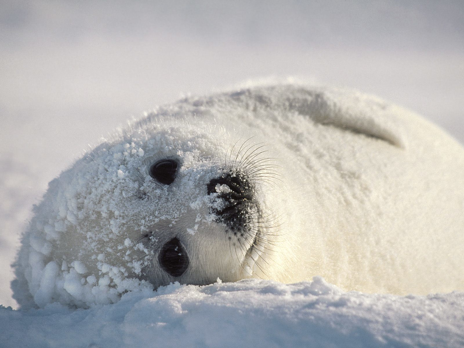 winter snow Seals black HD Wallpaper