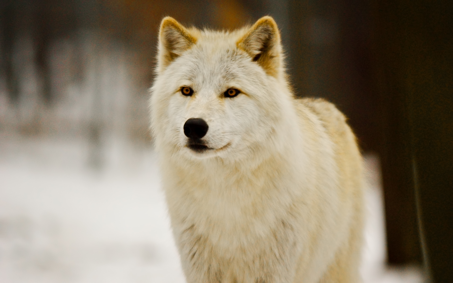""\""""Wolves""""""1920|1200|?|en|2|b71f7f0449b283015fb2c1e97ea5d517|False|UNLIKELY|0.2814275920391083