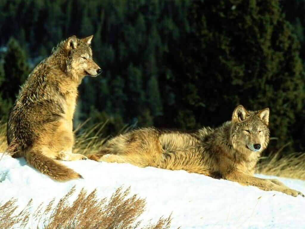 Wolves snow Animals HD Wallpaper
