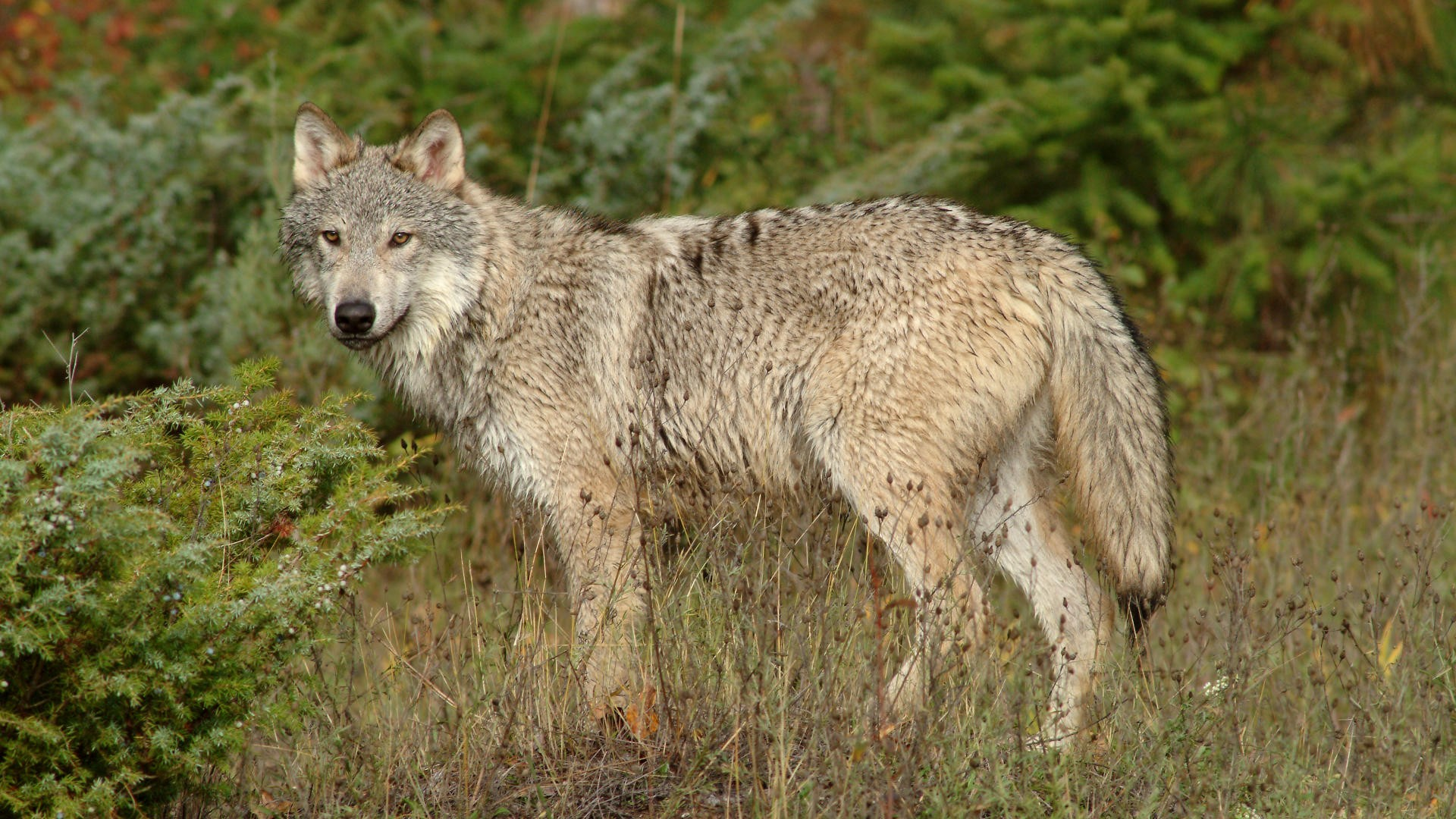 Wolves timber grey Animals HD Wallpaper
