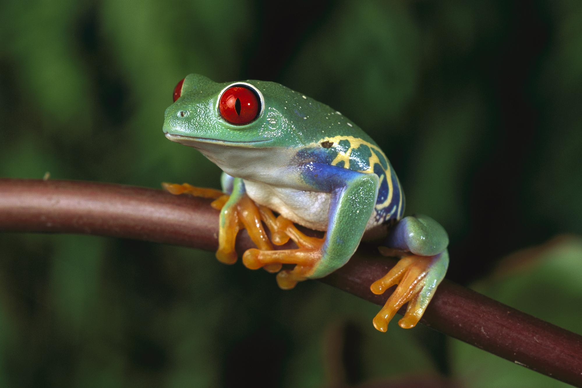 woman Animals Frogs Red-Eyed HD Wallpaper