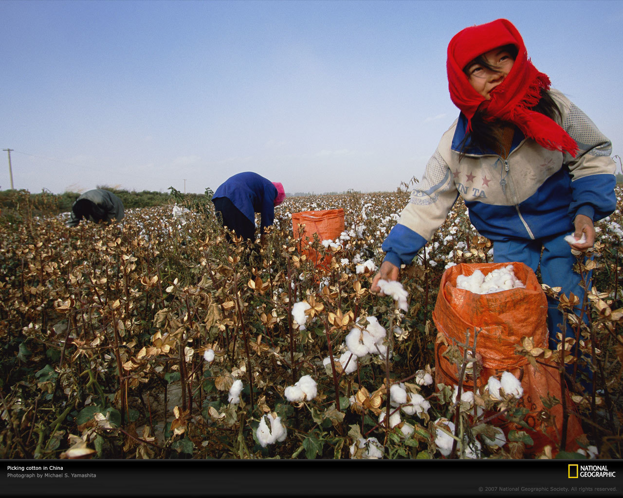 Women picking cotton China HD Wallpaper