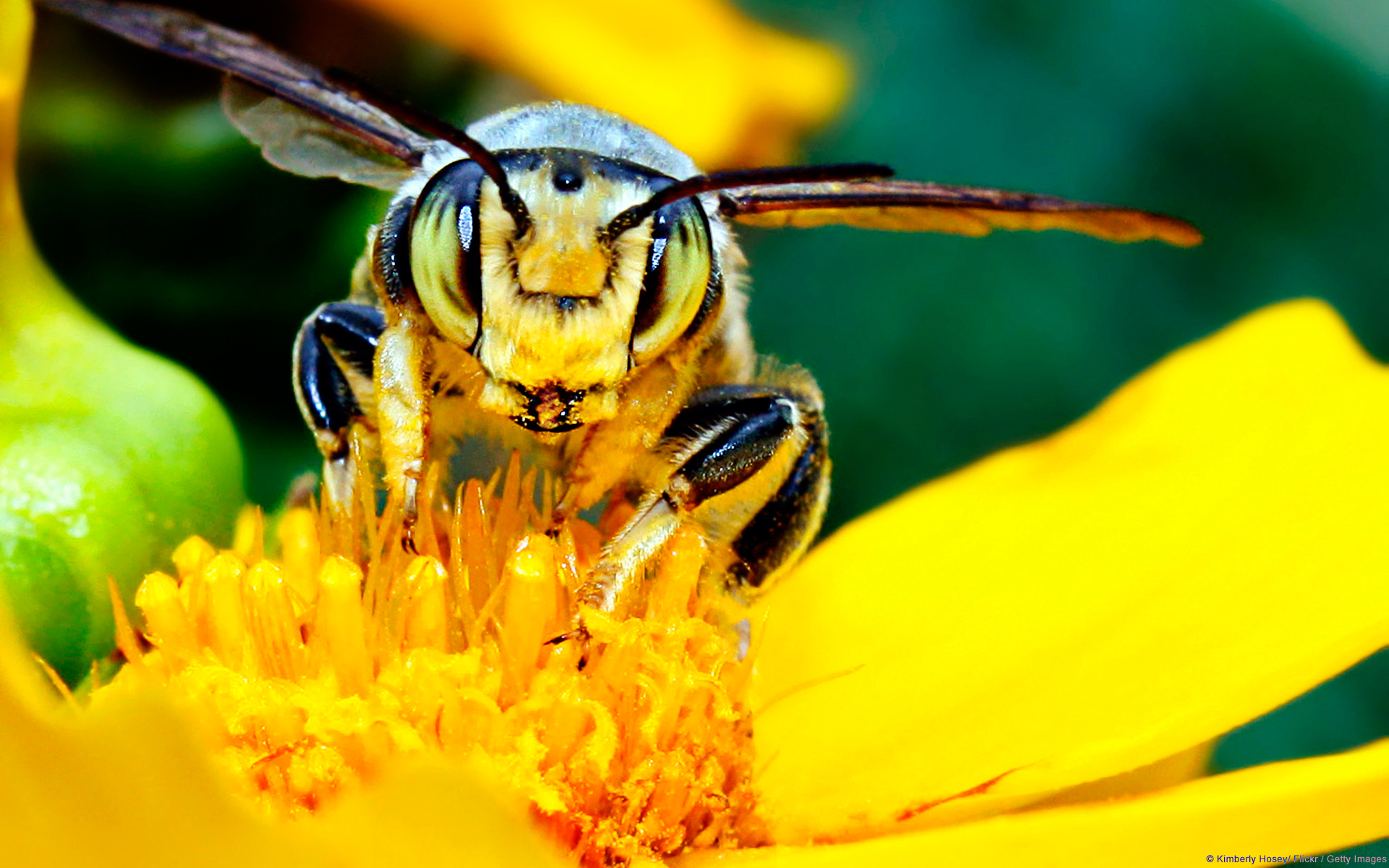 yellow bees blooms insects