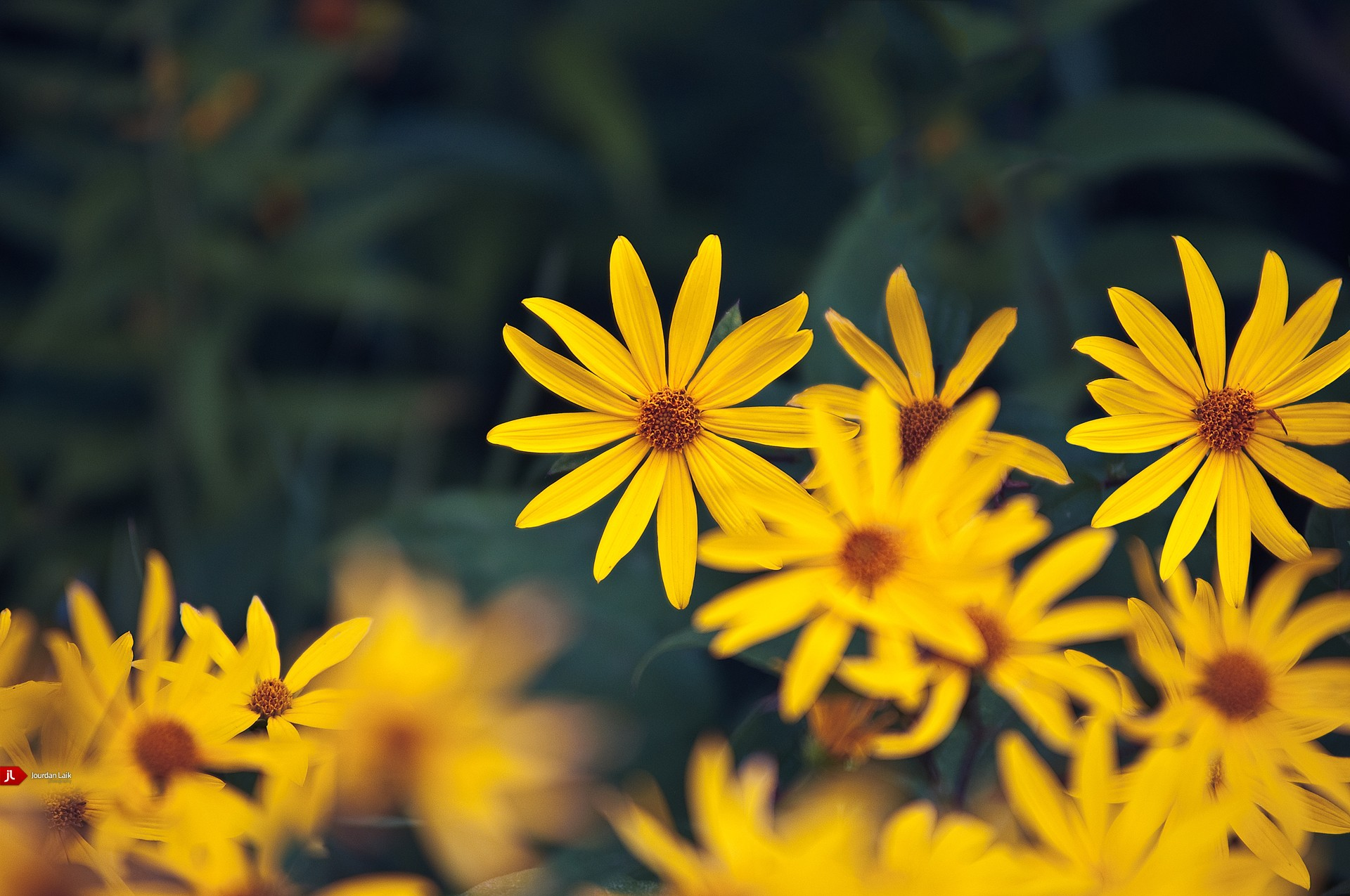 yellow flowers Daisy Flowers HD Wallpaper
