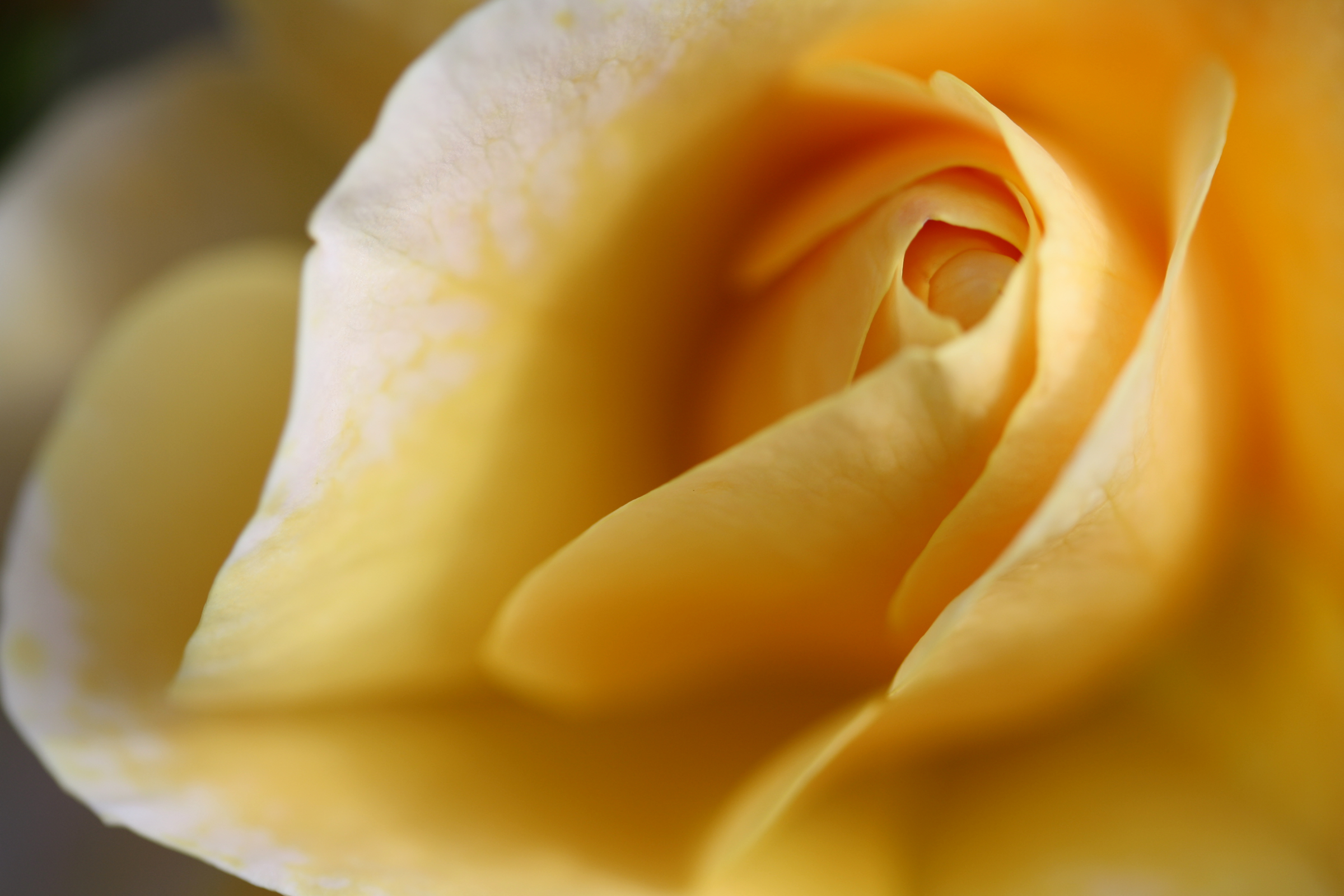 yellow rose Flowers all HD Wallpaper